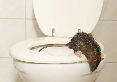 Essensreste im Kanal lockt Ratten